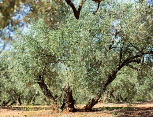 Variedades olivos